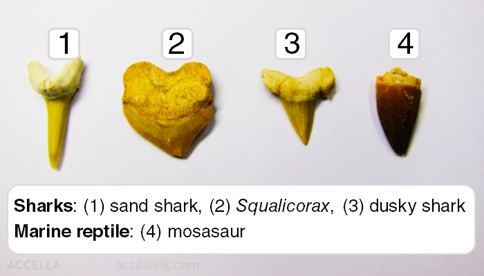 The assortment includes teeth from three types of shark as well as a tooth from a mosasaur!